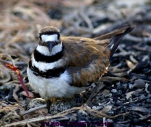 Image Credit: https://firefly1275.wordpress.com/2016/07/19/my-photo-an-upset-mother-killdeer-bird/